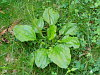 Plantain - Broadleaf Variety