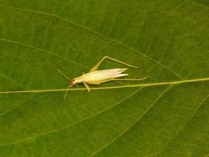 Snowy Cricket - Female