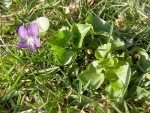Edible Violet