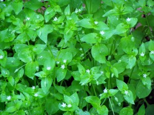 Chickweed – An Edible Yard Plant