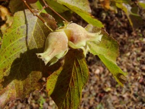 Edible Hazel Nuts