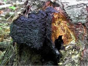 Inonotus obliquus (courtesy tgcva.org)