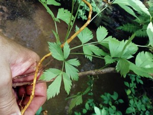Yellow Root Plant