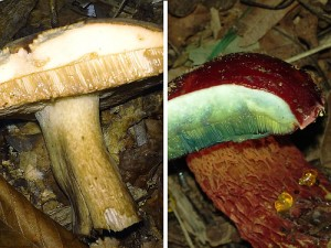 Edible_Vs_Toxic_Reactions_Bolete_Mushrooms__