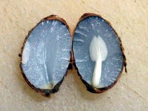 Inside Persimmon Seed