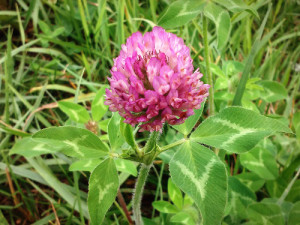 Red Clover Blossom And Leaves