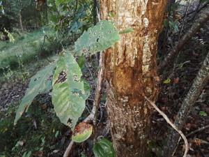 Signs Of Chestnut Blight